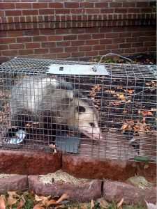A possum that we safely captured at a customer's home.