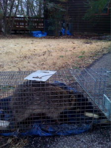 A raccoon that we captured at a client's house.